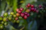 Plantio de café em Carmo de Minas (MG). Foto de Luciana Tancredo/ Plurale - TODOS OS DIREITOS RESERVADOS- PROIBIDA A REPRODUÇÃO.