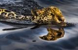 O jaguaretê no corixo Chamé. Serra do Amolar. Pantanal -  Araquém Alcântara (DIREITOS AUTORAIS / PROIBIDA A REPRODUÇÃO)