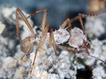 Cientistas exploram microbiota de formigas em busca de novos fármacos