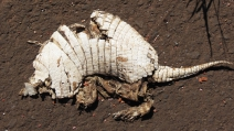 Atropelamento de animais silvestres em rodovias chega a 450 milhões por ano no Brasil