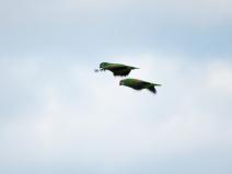 Um dos menos conhecidos no Brasil, papagaio-chauá ganha projeto de conservação
