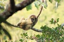 Esmeralda é esperança de conservação de primatas extremamente ameaçados