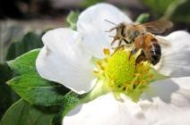Pesquisadores avaliam impactos de agrotóxicos sobre abelhas