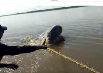 Boto cor-de-rosa é salvo por equipe do Instituto Mamirauá após ficar preso em rede de pesca na Amazônia