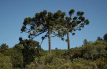 Dia da Árvore: 7 espécies brasileiras ameaçadas de extinção