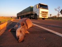 Pesquisa inédita mostra que agrotóxicos e metais pesados ameaçam a saúde da anta e de humanos no Cerrado Brasileiro
