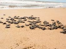Sul da Bahia registra aumento no número de nascimento de tartarugas marinhas