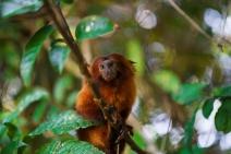 Parceria para preservação do Mico-leão-dourado e restauração da Mata Atlântica