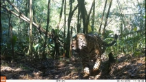 Onça-pintada é registrada em território paranaense da Grande Reserva Mata Atlântica
