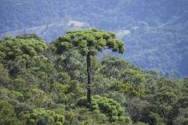 Sem estratégias de conservação, araucária deve ser extinta em 2070, diz estudo