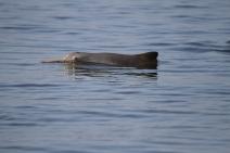 Pesca, poluição e expansão portuária ameaçam sobrevivência de espécie de golfinho