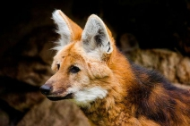 Escolhido para ilustrar a cédula de R$ 200, lobo-guará sofre com o avanço do desmatamento no Cerrado