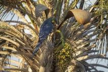 Enel Green Power fomenta preservação da arara-azul-de-lear no Norte da Bahia