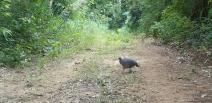 Ave ameaçada de extinção é vista pela primeira vez no    Parque Sesc Serra Azul, na região de Nobres