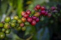 Nespresso reforça ações para proteger trabalhadores durante a colheita de café