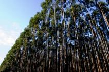 Suzano captura mais de 15 milhões de toneladas de carbono da atmosfera em 2020