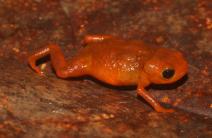 Nova espécie de sapo é descoberta em reserva ambiental da Suzano