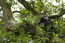 PLURALE EM REVISTA, Edição 45/ Gorilas no Bwindi Impenetrable National Park, em Uganda