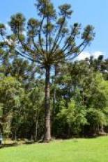 Símbolo do Paraná, araucária caminha para extinção