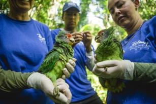 ONG brasileira recebe apoio do fundo de conservação da Disney para proteger Papagaio-de-cara-roxa