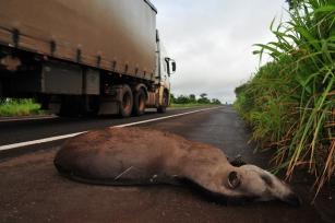 INCAB/IPÊ lança petição por mais segurança para animais silvestres em rodovia do Mato Grosso do Sul