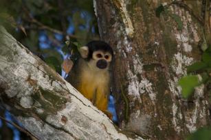 Instituto Mamirauá lança campanha de financiamento coletivo para conservar o macaco-de-cheiro-de-cabeça-preta