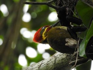 Ninho de pica-pau-dourado-grande é encontrado na RPPN Estação Veracel